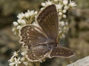 Meleager's Blue butterfly  female - Castellon, Spain 24-7-13 © P Browning