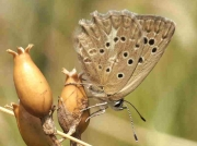 Meleager's Blue butterfly  female underside - Castellon, Spain 24-7-13 © P Browning