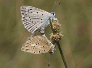 Meleager's Blue butterfly pair - Castellon, Spain 24-7-13 © P Browning