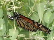 monarch-butterfly-female-Danaus-plexippus-2677
