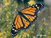 monarch-butterfly-male-Danaus-plexippus-2678