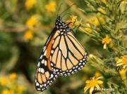 monarch-butterfly-male-Danaus-plexippus-2680