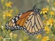 monarch-butterfly-male-Danaus-plexippus-2681