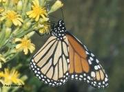 monarch-butterfly-male-Danaus-plexippus-2682
