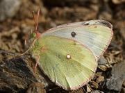 Mountain-Clouded-Yellow-butterfly-Colias-phicomone-2661