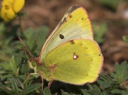 Mountain-Clouded-Yellow-butterfly-Colias-phicomone-2662
