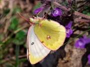 Mountain-Clouded-Yellow-butterfly-Colias-phicomone-female-2669
