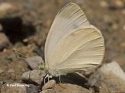 Mountain-Small-White-butterfly-Artogeia-ergane-2659