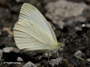 Mountain-Small-White-butterfly-Artogeia-ergane-2660