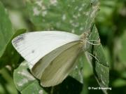 Mountain-Small-White-butterfly-Artogeia-ergane-2666