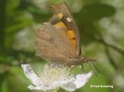 Nettle-tree-Butterfly-Libythea-celtis-Spain-2684