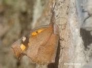 Nettle-tree-Butterfly-Libythea-celtis-Spain-2685