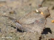 Nettle-tree-Butterfly-Libythea-celtis-Spain-2686