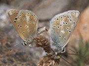Nevada Blue butterfly pair - Granada, Spain 3 -7-07 © P Browning