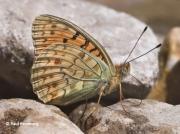 Niobe-Fritillary-butterfly-Argynnis-niobe-spain-2723