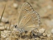 Oberthur's Anomolous Blue butterfly male - Valencia, Spain 26-7-13 © P Browning