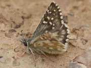 Oberthur's Grizzled Skipper male - Spain © P Browning