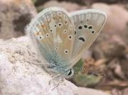 Polyommatus Sagratox butterfly male - Granada, Spain 5-7-07 Spain © P Browning