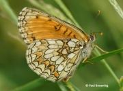 Provencal-Fritillary-butterfly-Mellicta-deione-2770