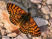 Provencal-Fritillary-butterfly-Mellicta-deione-2772