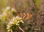 Provencal-Fritillary-butterfly-Mellicta-deione-2773