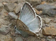 Provence Chalkhill Blue butterfly male - Huesca, Spain 14-6-10 © P Browning