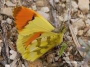 Provence-Orange-tip-butterfly-Anthocharis-euphenoides-2663