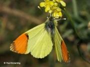 Provence-Orange-tip-butterfly-Anthocharis-euphenoides-2664