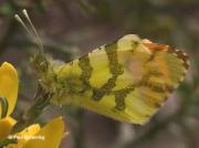 Provence-Orange-tip-butterfly-Anthocharis-euphenoides-2665