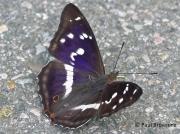 Male Purple Emperor butterfly (Apatura iris)