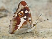 Underside of Purple Emperor butterfly (Apatura iris)