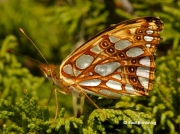 Queen-of-Spain-Fritillary-butterfly-Issoria-lathonia-2724