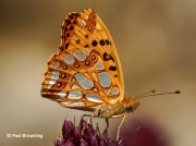 Queen-of-Spain-Fritillary-butterfly-Issoria-lathonia-2725