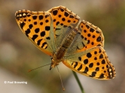 Queen-of-Spain-Fritillary-butterfly-Issoria-lathonia-2726