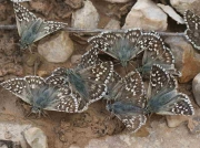 Safflower Skippers - Spain © P Browning