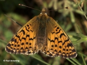 Shepherd's-Fritillary-butterfly-Bolaria-pales-2732