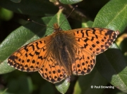 Shepherd's-Fritillary-butterfly-Bolaria-pales-2733