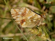 Shepherd's-Fritillary-butterfly-Bolaria-pales-2734