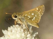 Silver-spotted Skipper male underside - Spain © P Browning