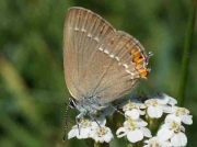 Sloe Hairstreak butterfly female - Alava, Spain 5-7-09 © P Browning