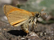Small Skipper  underside - Spain © P Browning