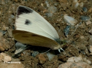 Southern-Small-White-butterfly-Artogeia-mannii-2667