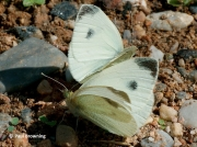 Southern-Small-White-butterflies-Artogeia-mannii-2668