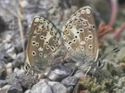 Spanish Argus butterfly pair - Granada, Spain 26-6-07 © P Browning