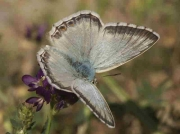 Spanish Chalkhill Blue butterfly male ssp-albicans - Granada, Spain 25-6-07 © P Browning