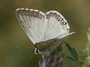 Spanish Chalkhill Blue butterfly male-ssp-arragonensis - Huesca, Spain © P Browning