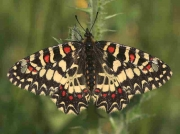Spanish festoon male - Huelva, Spain © P Browning