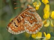 Spanish-Fritillary-butterfly-Eurodryas-desfontainii-spain-2780
