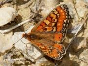 Spanish-Fritillary-butterfly-Eurodryas-desfontainii-spain-2781