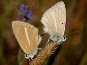 Spanish Furry Blue butterfly pair - ssp-pseudovirgilia- Burgos, Spain 15-8-08 © P Browning